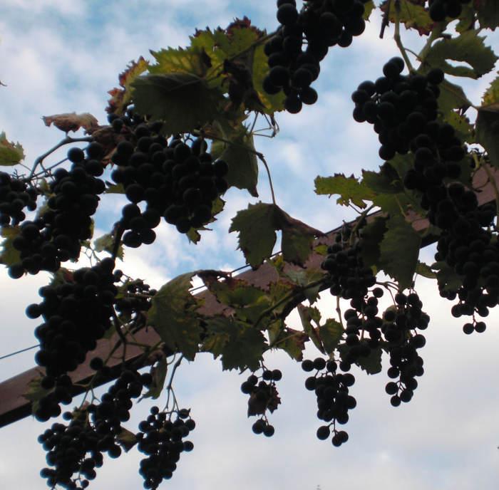 Der Himmel hängt voller Trauben