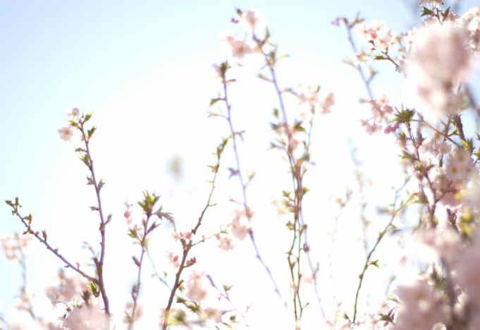 Kirschblüte Bild von http://imcreator.com/free